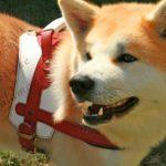 Akita inu avec un harnais avec poignée en cuir sur mesure