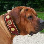 Collier cuir Tosa Inu sur le chien Zenryoku Menadel - Atelier Napoléon