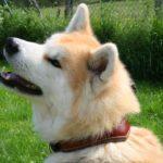 collier chien diademe militaire - AtelierNapoleon