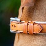 détail de collier en cuir sur Braque hongrois - Atelier Napoléon