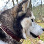 Quel collier ou harnais pour un Husky